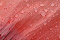 Rain drops on petal of poppy Stock Photos