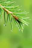 Rain drops on pine branch Royalty Free Stock Photos