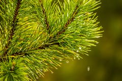 Rain drops on pine needles macro selective focus, background concept.  royalty free stock photos