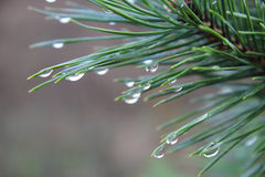 Rain drops on a pine tree needles Stock Photography