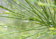 Rain drops on a pine tree Royalty Free Stock Photography