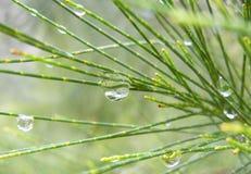 Rain drops on a pine tree Royalty Free Stock Photography