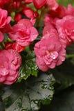 Rain drops. On pink flower Stock Image