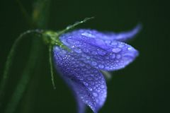 Rain drops on purple flower Royalty Free Stock Photo