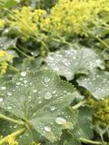 Rain. Drops of rainwater on leaves Royalty Free Stock Photography