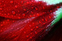 Rain drops on a red bloom Royalty Free Stock Images