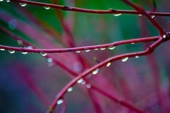 Rain Drops on Red Branches Stock Image