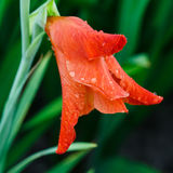 Rain drops on a red gladiolus flower closeup Stock Photo
