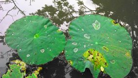 Rain drops rolling on lotus leaves Royalty Free Stock Images