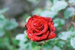 Rain drops on rose Stock Photo