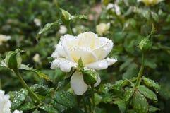 Rain drops on rosebush Royalty Free Stock Photos