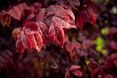Rain drops on purple autumn leaves stock photos