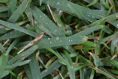 Rain drops sitting on green grass Stock Images