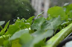 Rain drops splash on green flower. In balcony summer  time Royalty Free Stock Image