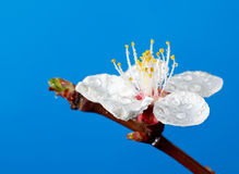 Rain drops on spring blossom Stock Photography