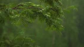Rain drops strike Rowan branches and fly stock video footage