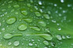 rain drops on tropical leaf royalty free stock photography