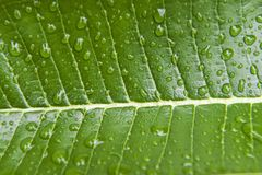 Rain drops on a tropical leaf in Suphan Buri, Thailand. Stock Images