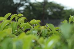Rain drops on green leaves with blurred background royalty free stock photography