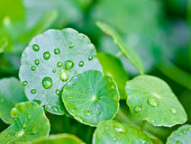 Rain drops on water plant leafs Stock Image