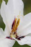 Rain drops on a white gladiolus flower closeup.  royalty free stock photo