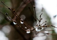 Rain drops on winter twigs Royalty Free Stock Images