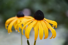 Rain drops on yellow flowers Stock Image