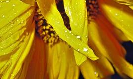 Rain drops on yellow sunflower petaln narrow focus area royalty free stock images