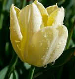 Rain drops on yellow tulip petals Stock Photos