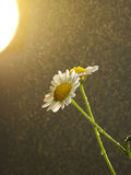 Rain fall on daisy Stock Photography