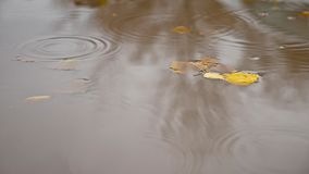 The rain in the fall in a puddle nature of yellow leaves floating trees stock footage