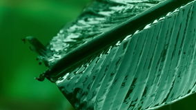 Rain falling on banana leaf stock video footage