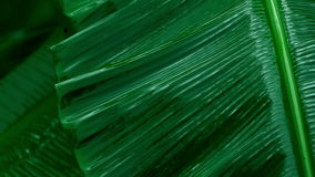 Rain falling on banana leaf stock footage