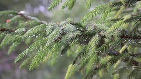 Rain falling on coniferous fir tree branch covered with water droplets. 4K. Rain falling on coniferous fir tree branches covered with water droplets. Zoom out stock footage