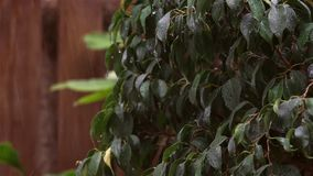 Rain falling on dark green leaves of Ficus benjamina, a strong wind stirred the leaves and raindrops fall. Wooden background stock footage