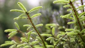 Rain falling on fir tree branches stock video