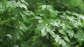 Rain falling maple leaves. Rain falling over green leaves blurred background. maple leaves after rain stock video