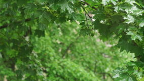 Rain falling maple leaves. Rain falling over green leaves blurred background. maple leaves after rain stock footage