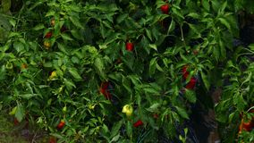 Rain falling on peppers on the vine in the garden stock video