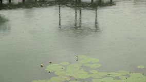 Rain falling in pool with water lilies leaves stock footage