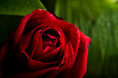 Rain falling on Red Rose Royalty Free Stock Images