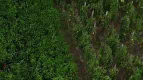 Rain falling on tomatoes and peppers on vine in garden stock video footage