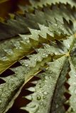 Raindrops on the leaves of a beautiful fern plant royalty free stock image