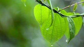 Rain falls on the moist leaves of plants in the rainy season stock video