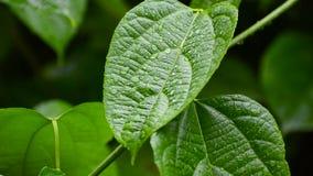 Rain falls on the moist leaves of plants in the rainy season stock video footage