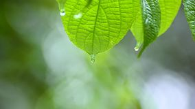 Rain falls on the moist leaves of plants in the rainy season stock footage