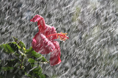 Rain flower. Hibiscus flower during sun shower, rain drops on flower petals during a storm ad interest to flower photos Stock Image