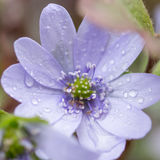 Rain on flower Stock Image