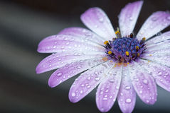After the rain. Flower with waterdrops, close up Stock Image
