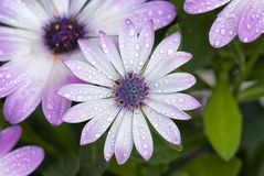 After the rain. Flower with waterdrops, close up Stock Photo